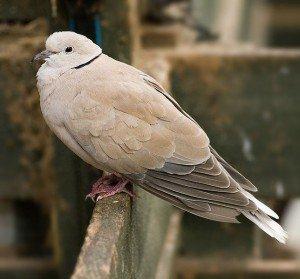 Feral_Barbary_Dove