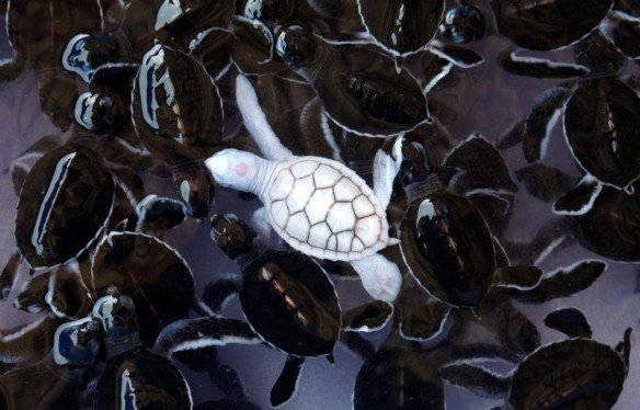 Albino-Baby-Turtle
